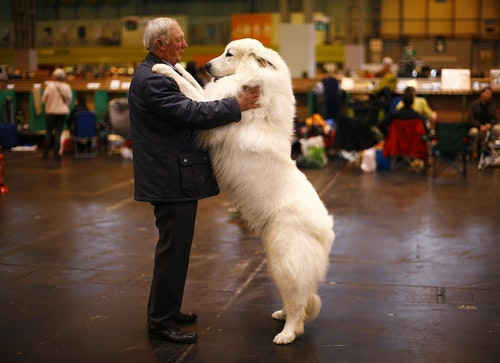 Arthur Ward stands with his Pyrenean Mountain Dog Cody during the first day of the Crufts Dog Show in Birmingham