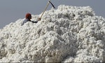 From Tufts to Dust, Cotton Accelerates Xinjiang Desertification