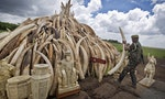 How Laos' Black Market Undermines China's Ivory Ban