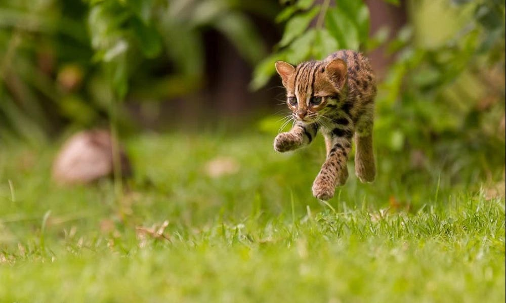 Protecting Taiwan's Endangered Leopard Cats