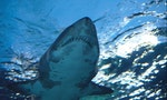Indonesia World's Top Shark Killer: FAO