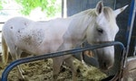 Life-Saving Horses in Taiwan Retiring, for Better or Worse