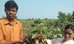 Pesticide Deaths Sweep Indian Villages as Small Farmers Beat Back Bugs