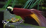 Birds-of-Paradise Off the Market in Indonesia's Biggest Province