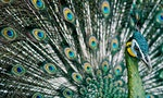 Endangered Green Peafowl on Last Legs in China amid Illegal Mining