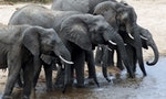 China's Ivory Ban Pushes Illegal Trade to Neighboring Countries, Study Shows