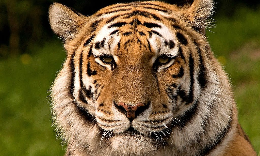 China Temporarily Restores Ban on Tiger & Rhino Parts After Global Outcry