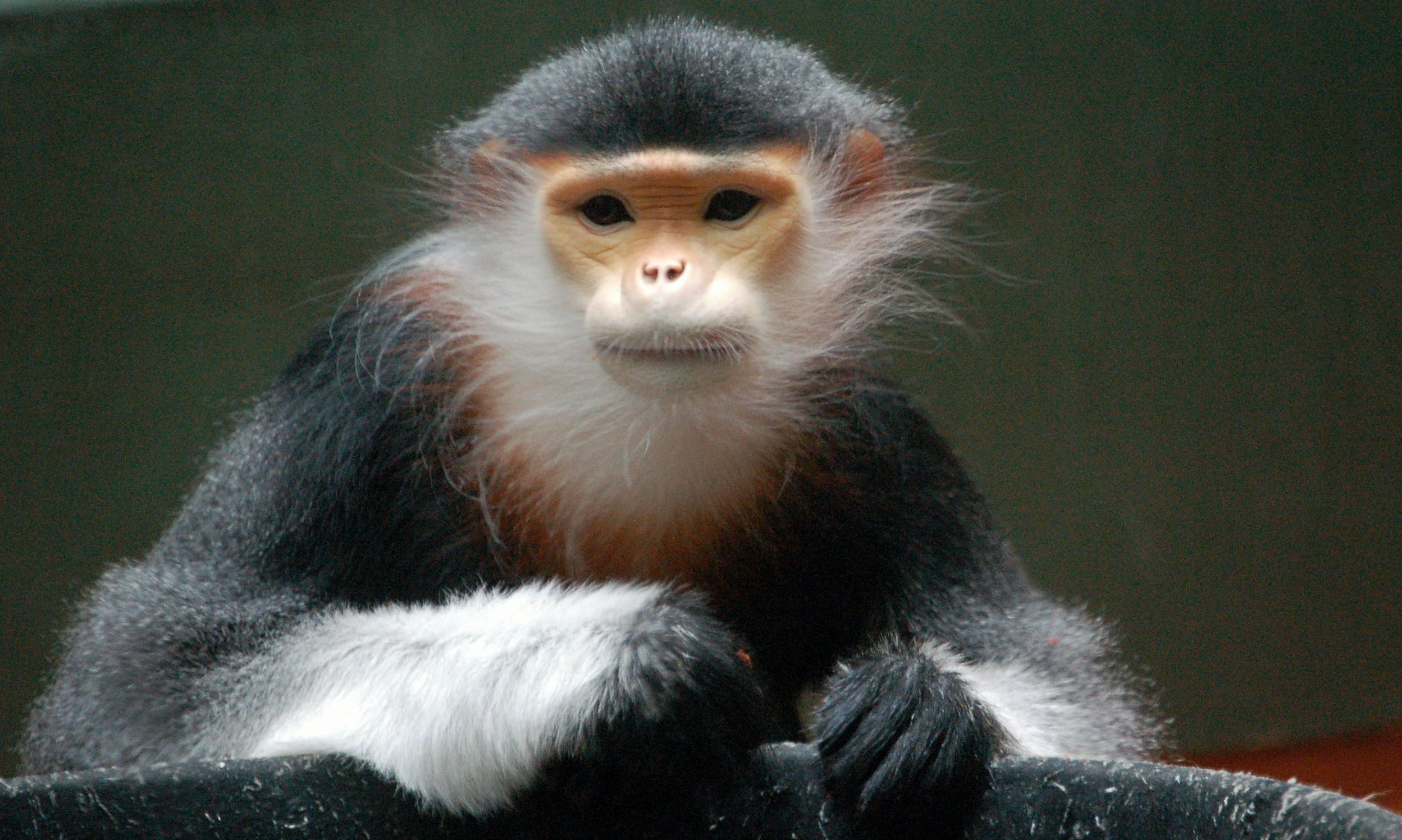 Southeast Asia's Douc Langurs: The Prettiest Primates You've Never Heard Of