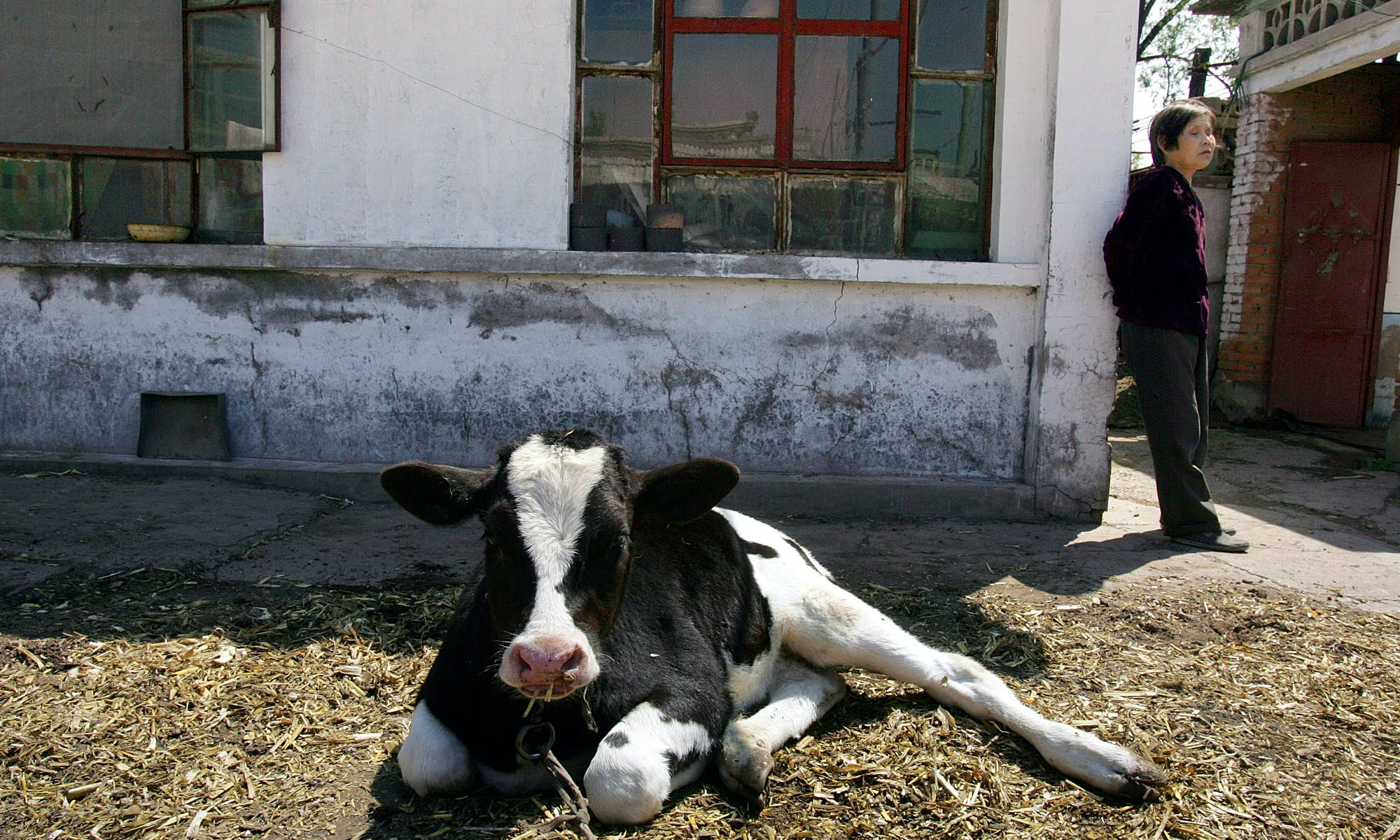 Niu Horizons: The Stunning Growth of China's Dairy Industry
