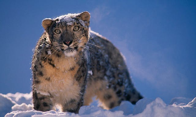 Paw Prints: Photographing the Majestic Snow Leopard in the Himalayas