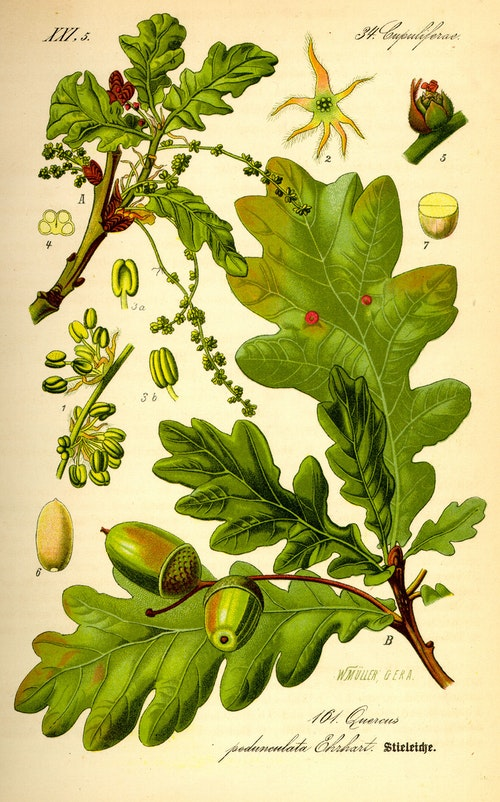 Illustration_Quercus_robur0