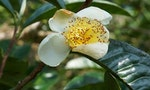 New Tea Plant Species Discovered in Vietnam Highlight Value of Biodiversity