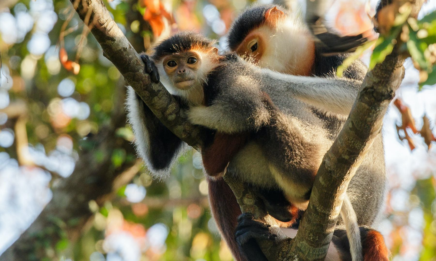 Hanging Out with Vietnam's Critically Endangered Primates