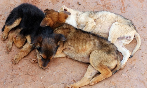 Three young street dogs huddling together and sleeping