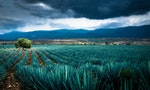 Agave Can Be Used For Biofuel and Hand-Sanitizers, Researchers Say