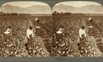 Let's Really Talk About Slavery and Cotton
