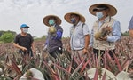Taiwan's 'Pineapple War:' Opportunity Amid an Industry Crisis